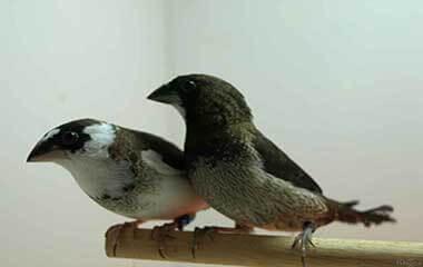 isabelitas del japón - nodrizas - pareja