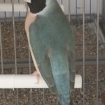 hembra azul clasica cabeza negra