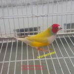 Pastel Cabeza Roja