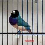 Azul Cabeza Negra